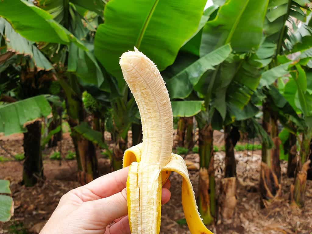 banana in tenerife