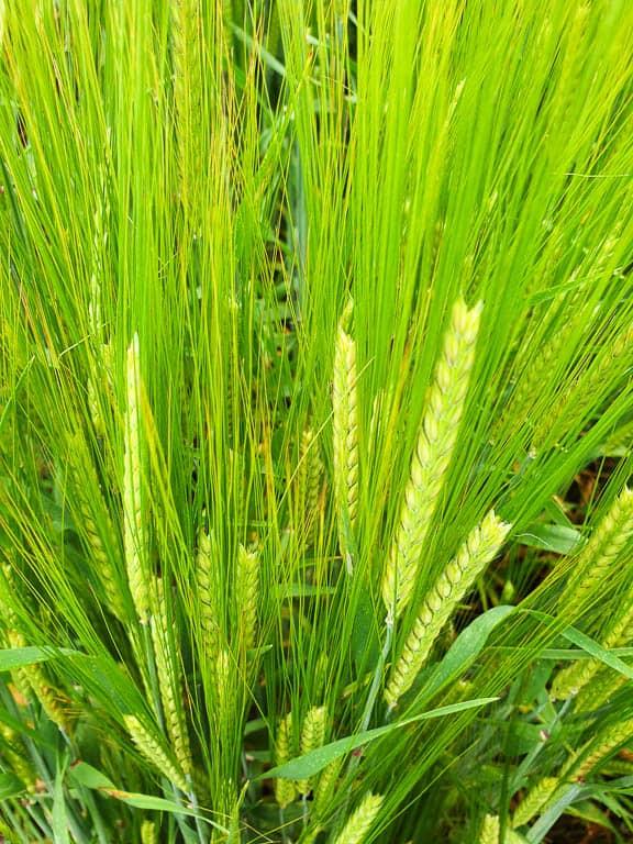 best distilleries in scotland use local barley