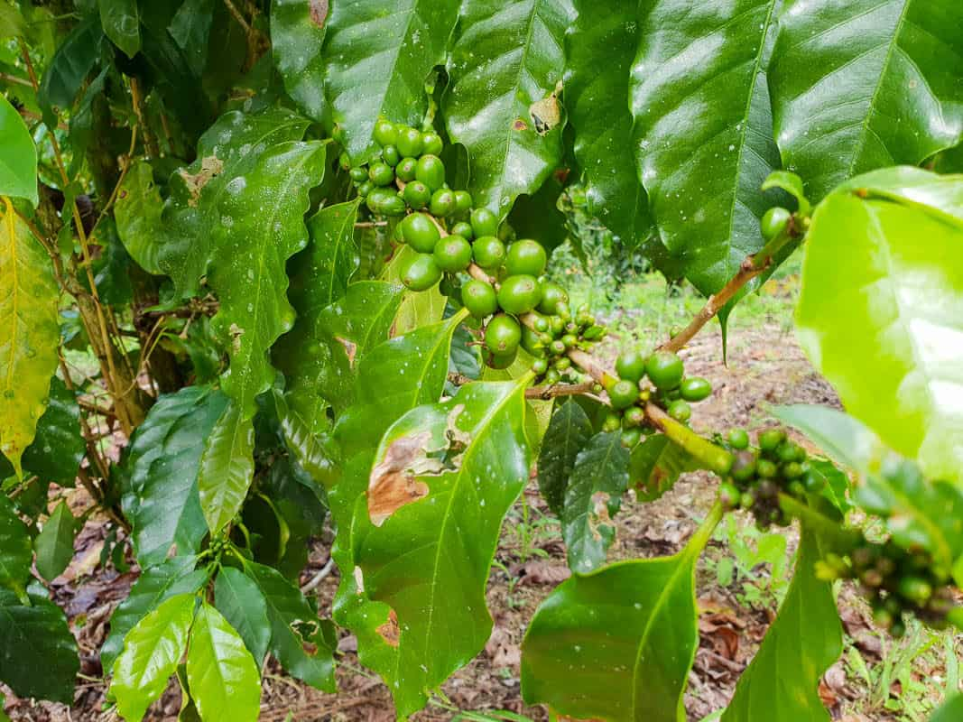 Where do Coffee Beans Grow