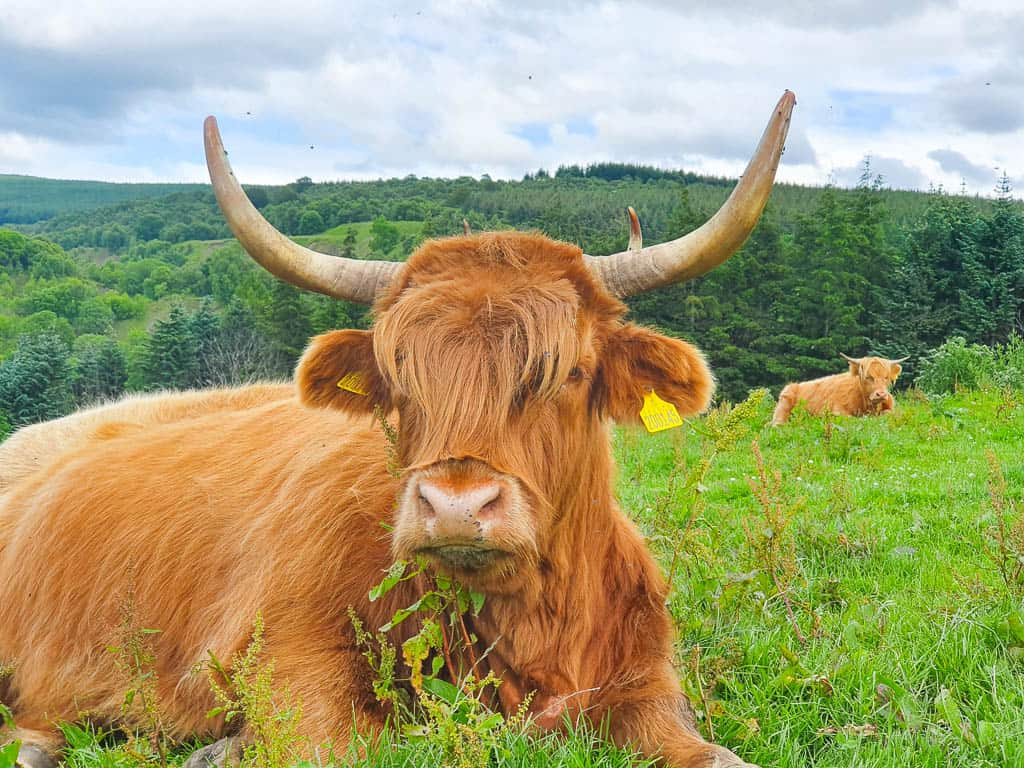 highland coos in Moray Speyside
