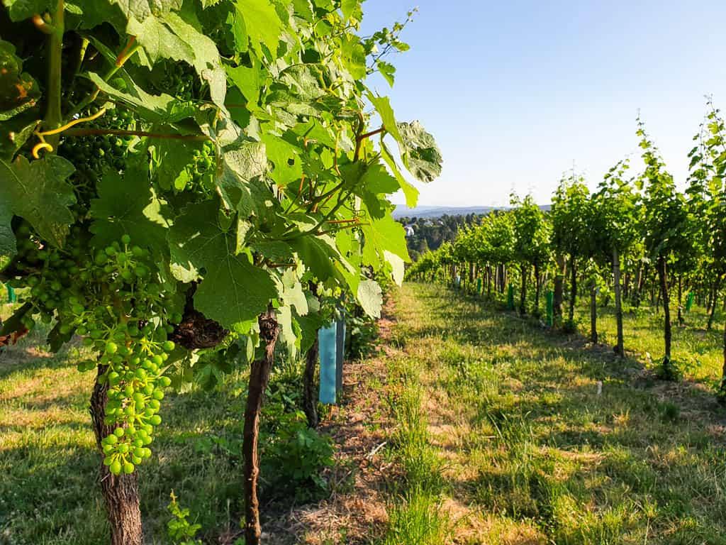 vineyards in Austria