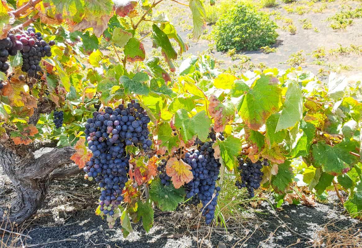 wine history on the island