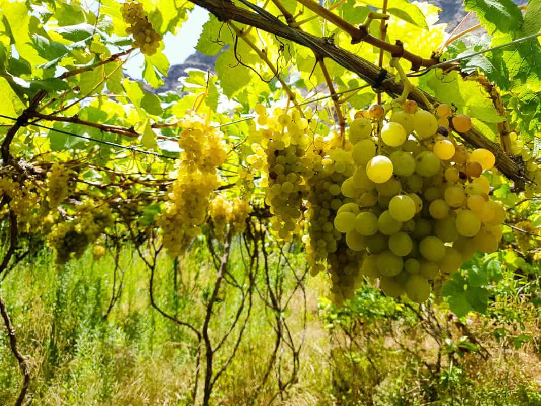 Bodega Los Berrazales – Winery and Coffee Plantation Gran Canaria
