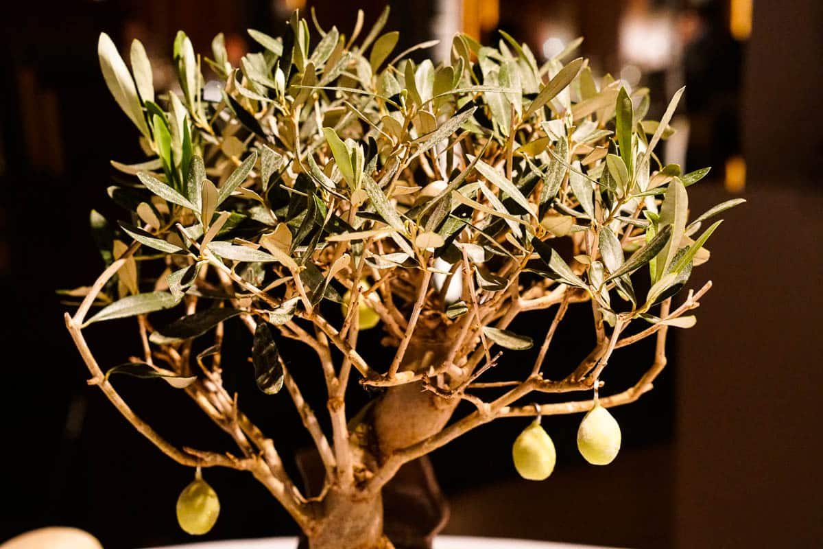 Famous Can Roca Olive Tree